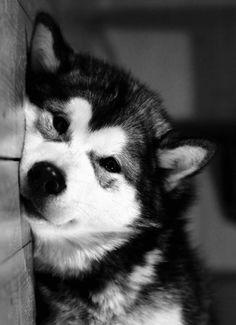 This husky look sleepy. Beautiful Dogs, Animals Beautiful, Cute Animals, Rottweiler Puppies, Husky Puppy, Cute Dogs And Puppies, I Love Dogs, Doggies, Malamute Dog