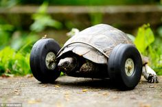 A 100-year-old tortoise is going twice its normal speed after being fitted with a set of wheels when a rat gnawed off its two front legs.