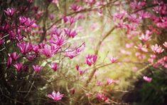 Фон магнолия - avatan plus. Spring Flowers Wallpaper, Spring Desktop Wallpaper, Cute Wallpaper For Phone, Flower Wallpaper, Hd Wallpaper, Flower Backgrounds, Phone Backgrounds, Moving Head, Spring Pictures