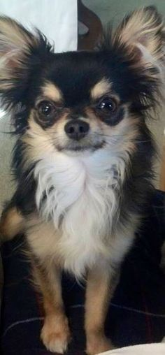Long-haired Chihuahua image via www.Facebook.com/CuteChihuahuaFans