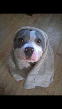 #pitty #pitbull #puppy