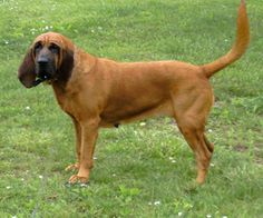 Dog Rescue Goldens And Bloodhound