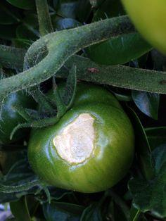 7 deadly tomato sins
