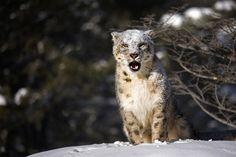 Snow Leopard 2 by catman-suha on DeviantArt