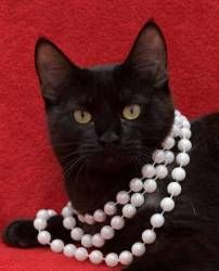 Luna A. is an adoptable Bombay Cat in Baton Rouge, LA. 'This sweet girl is shy at first but will quickly warm up to you and become your new best friend. She loves to cuddle on the couch or take a nap ...