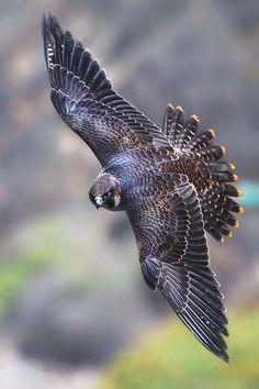 Juvenile Peregrine Falcon                                                                                                                                                                                 More