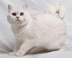 British Shorthair white