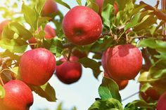 Fall is the perfect time for planting, especially when it comes to planting apple trees! Here are 3 great apple tree varieties: Black Arkansas, Honeycrisp and Gala (Zone Fruit Plants, Fruit Garden, Fruit Trees, Planting Apple Trees, Trees To Plant, Hot Pepper Mustard Recipe, Photo Fruit, Apple Fruit, Apple Plant