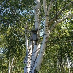 Summer birch trees #lifeinstyle #greenwithenvy