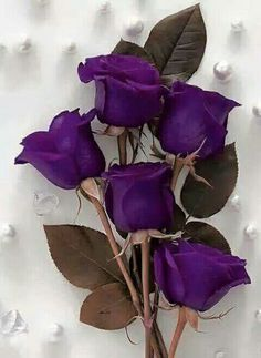 the sweet rose Purple Love, Purple Lilac, All Things Purple, Shades Of Purple, Purple Stuff, Beautiful Roses, Purple Flowers, Beautiful Flowers, Color Violeta