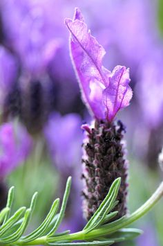 Lavender I have this lavender plant in my garden. It is one of the first to bloom in the spring (winter in the NE). Sorry, you guys. Lavender Cottage, Lavender Blue, Lavender Fields, Lavender Flowers, Purple Flowers, Spanish Lavender, French Lavender, Exotic Flowers, Amazing Flowers