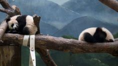 Their ongoing discussions over who gets to be in the corner temporarily put on hold ... #ZAPandaCubs