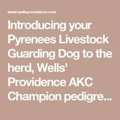 Introducing your Pyrenees Livestock Guarding Dog to the herd, Wells' Providence AKC Champion pedigree Great Pyrenees Puppies for sale in Missouri, Livestock Guardian Dogs