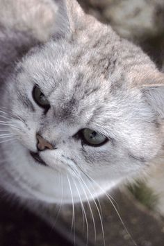 """""""Anyone who claims that a cat can't give a dirty look has either never kept a cat, or is singularly unobservant."""" --Maurice Burton"""