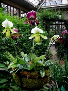 Lady's Slipper Orchids at Longwood Garden via Carolyn's Shade Garden