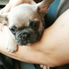 The day I brought him home   Double Tap  #frenchbulldog #buhi #dogsofig #squishyfacecrew #puppy #mydog #puppylove #puppies #instapuppy #instapup #frenchie #instafrenchie #aplacetolovedogs #dogscorner #frenchiesofinstagram #frenchies #dogsofinstagram #ilovedogs #dogstagram #dogoftheday #doglover  #instagramdogs  #dogs_of_Instagram #doglovers #dogsitting #instadogs #dogslife @thefrenchiepost @pupflix @jmarcoz by catole.thefrenchie