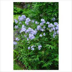 Polemonium 'Sonia's Bluebell'