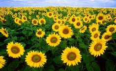Sunflowers - Amazing Plants That Follow the Sun