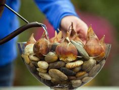 How to Enjoy Spring Bulbs All Winter Long by hgtv: Every 10 days, simply plop a few bulbs in a container and add water for a continuous supply! Great fun for the kids! #Spring_Bulbs #Forcing_Bulbs