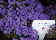 Floss Flower (Ageratum houstonianum)