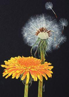 Taraxacum officinale - Dandelion © Lucille Carter SBA