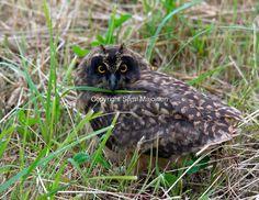 A little short-eared owl