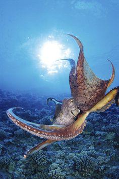 ✮ Common cuttlefish as far as common cuttlefish go...