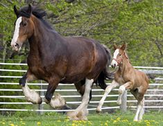 A Shire mare and foal / photo by Barbara Livingston