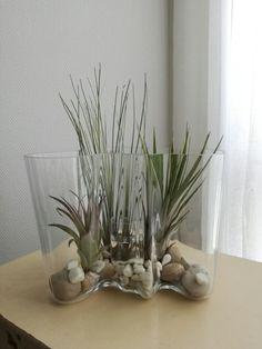 Airplant ilmakasvi aaltomaljakko