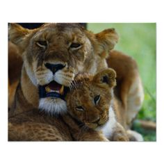 Lioness with Cub Poster Cubs Tattoo, Lioness Tattoo, Lioness And Cubs, Lion Africa, Joe Mcdonald, Owning A Cat, Curious Cat, Animal Posters, Tier Fotos