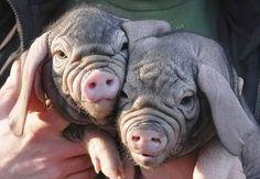 wrinkled pig nose