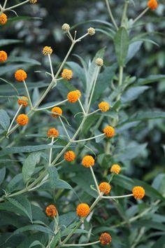 Buy orange ball tree Buddleja globosa: Delivery by Crocus.co.uk