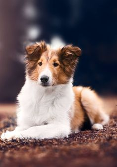 Shetland Sheepdog sheltie puppy Pfoten-Aspekte Shetland Sheepdog, Sheltie, Dog Breeds, Dogs And Puppies, Horse Breeds