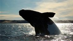 Patagonya Gezisi | Tangoları ve dünyaca ünlü etleri ile başkent Buenos Aires, Macellan Penguenleri'nin evi Punta Tombo ve doğal koruma bölgesi Valdes ile Puerto Madryn, dünyanın en sonundaki Tierra del Fuego Parkı ve deniz feneri ile ateş topraklarının başkenti Ushuaia ve Unesco İnsanlık Hazinesi Perito Moreno Buzulu ile El Calafate mutlaka görülmeli.