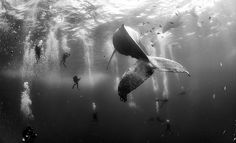 The 'Nature' 2nd prize winner, humpback whales in Mexico. Photo: Courtesy Anuar Patjar Floriuk/World Press Photo Contest