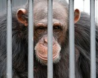 Save Chimps from Science Experiments - Chimpanzees have been on the endangered list since th 1900's but because captive chimp's aren't included in that designation, researchers are able to use these intelligent, sensitive animals for science experiments. Please sign Petition to change this!!