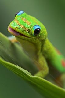 So, How Bout dis Weather?: Gold Dust Day Gecko