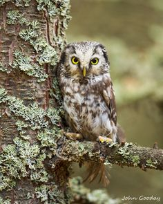 """by John Gooday """"Close-up of a Boreal owl (Aegolius funereus) perched in a lichen covered tree, Czech Republic"""" Owl Photos, Owl Pictures, Beautiful Owl, Animals Beautiful, Beautiful Poetry, Owl Bird, Pet Birds, Nocturne, Saw Whet Owl"""