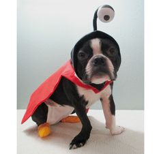 Nibbler costume I made for my Boston Terrier for Halloween last year - he's rocking it again this year! http://ift.tt/2dTbWou