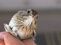 Lincoln sparrow about to be banded