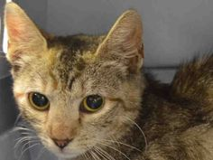 """BERRY -  A1042516 - - Manhattan  ***TO BE DESTROYED 07/06/15***TABBY KITTEN CHARMER, DUMPED AS A STRAY, IS PERFECTLY HEALTHY, WITH A GREAT BEHAVIOR RATING, BUT THE ACC WILL KILL HER ANYWAY – PLEASE GRANT BERRY A DEATH ROW PARDON!!! Adorable gray tabby and black kitten BERRY, just 1 year old, finds herself stuffed this dear kitten into the ACC's Death Camp for Kitties as a """"STRAY"""". Pretty Berry earned a very good EXPNOCHILD behavior rating. But the he"""