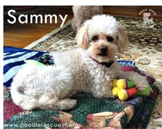 Sammy is making the most of the cold weather in VT by playing with his toys and his foster siblings! Check out our website at www.poodlerescuevt.org and follow us on Facebook at www.facebook.com/pages/Poodle-Rescue-of-Vermont/167941746567108