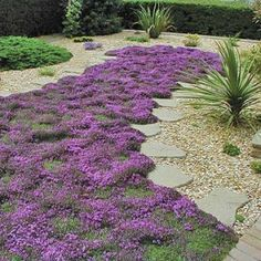 creeping thyme for the back patio!