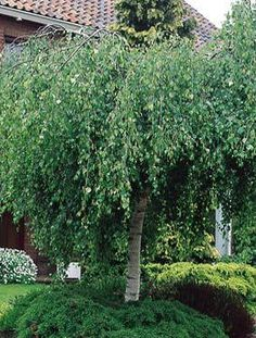"""Young's Weeping Birch: zone 3, h: 10-15' w:10-15"""". Small deciduous tree with an irregular graceful weeping habit, makes a great landscape feature. Rounded foliage is dark green in summer, turning brilliant yellow in fall. Known for handsome white bark."""