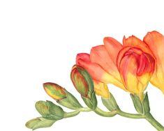 freesia_2012_12_04 1 Watercolor Wallpaper, Watercolor Drawing, Watercolor Flowers, Watercolor Ideas, Botanical Illustration, Botanical Prints, Graphic Illustration, Illustrations, Flower Tat
