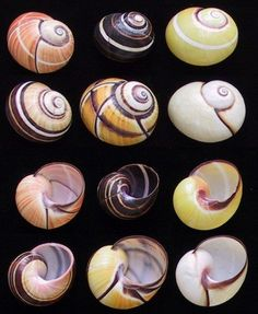 Cuban Land Snail (Polymita picta)