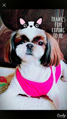 My dog Sharon❤ I love you so much♡ :) Shitzu♡