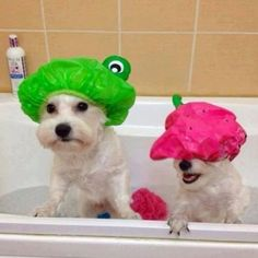 Maltese bath time...