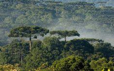 Floresta com araucária em Turvo, no Paraná (Foto: Zig Koch/Divulgação SPVS)