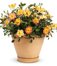 Oso Easy Paprika is a petite plant, reaching a height of 2 feet at maturity. Enjoy the spicy orange blooms that appear all summer long. Coral Roses, Orange Flowers, Flowers Perennials, Planting Flowers, Potted Flowers, Apartment Patio Gardens, Edging Plants, Orange Plant, Multi Colored Flowers